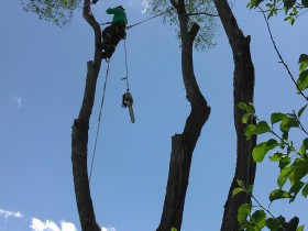 Elm-Tree-Removal