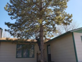 Pine-tree-removal-too-close